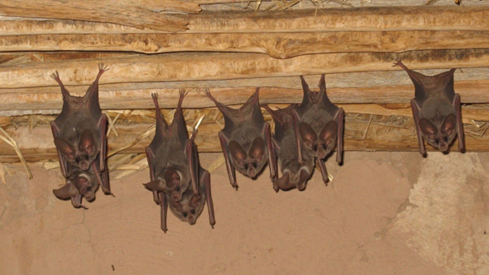 7 Facts About Bats in Honor of National Bat Week · National ... on summer cottage plans, townhouse plans, ranch style homes, ranch art, ranch log homes, strip mall plans, 3 car garage plans, ranch luxury homes, ranch backyard, ranch modular homes, log cabin plans, floor plans,