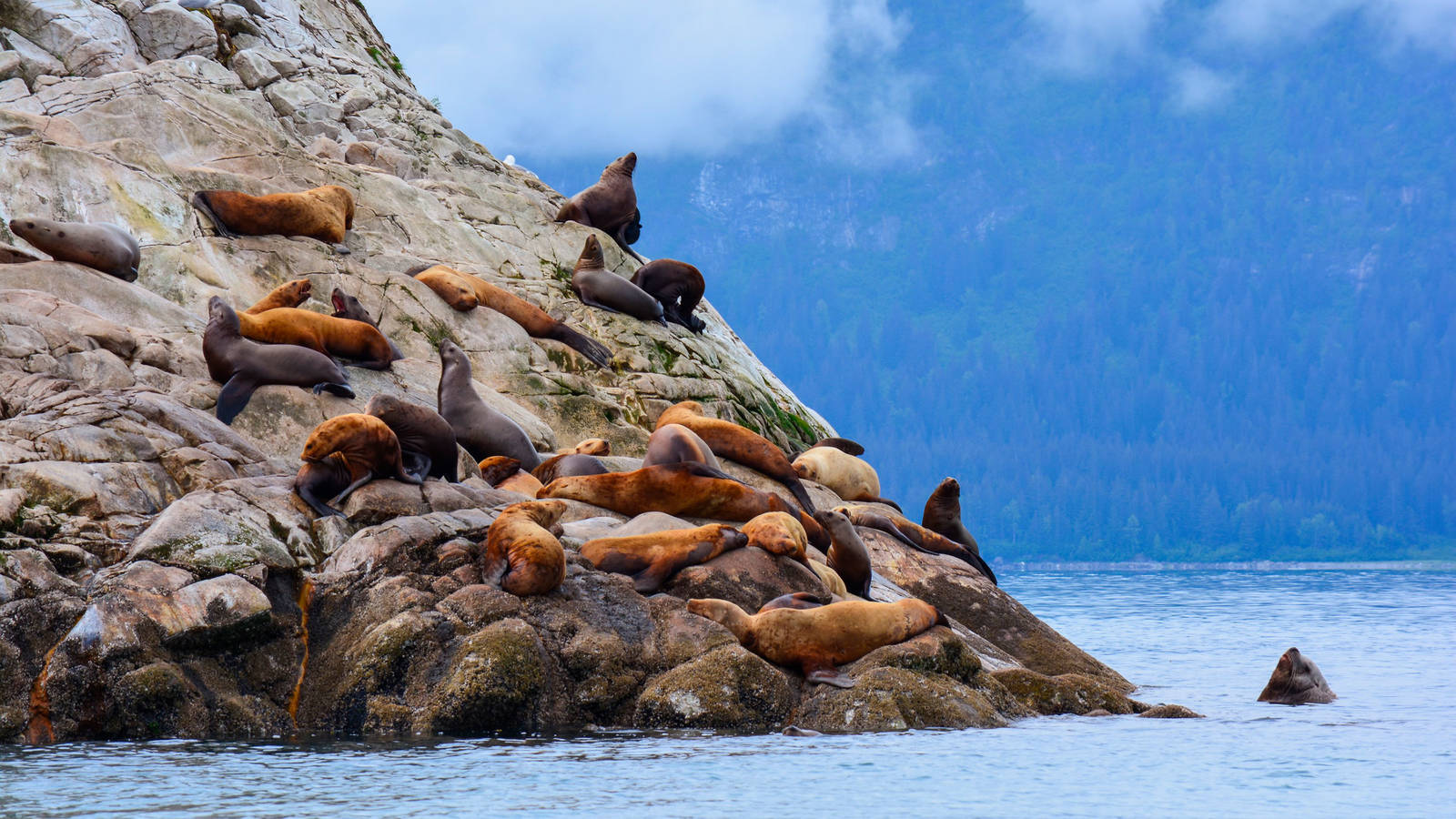 ac8a426060c Endangered Steller sea lions bask on a rocky incline at South Marble Island  in Glacier Bay National Park. Photo © Bedfordchandlerphoto Dreamstime.