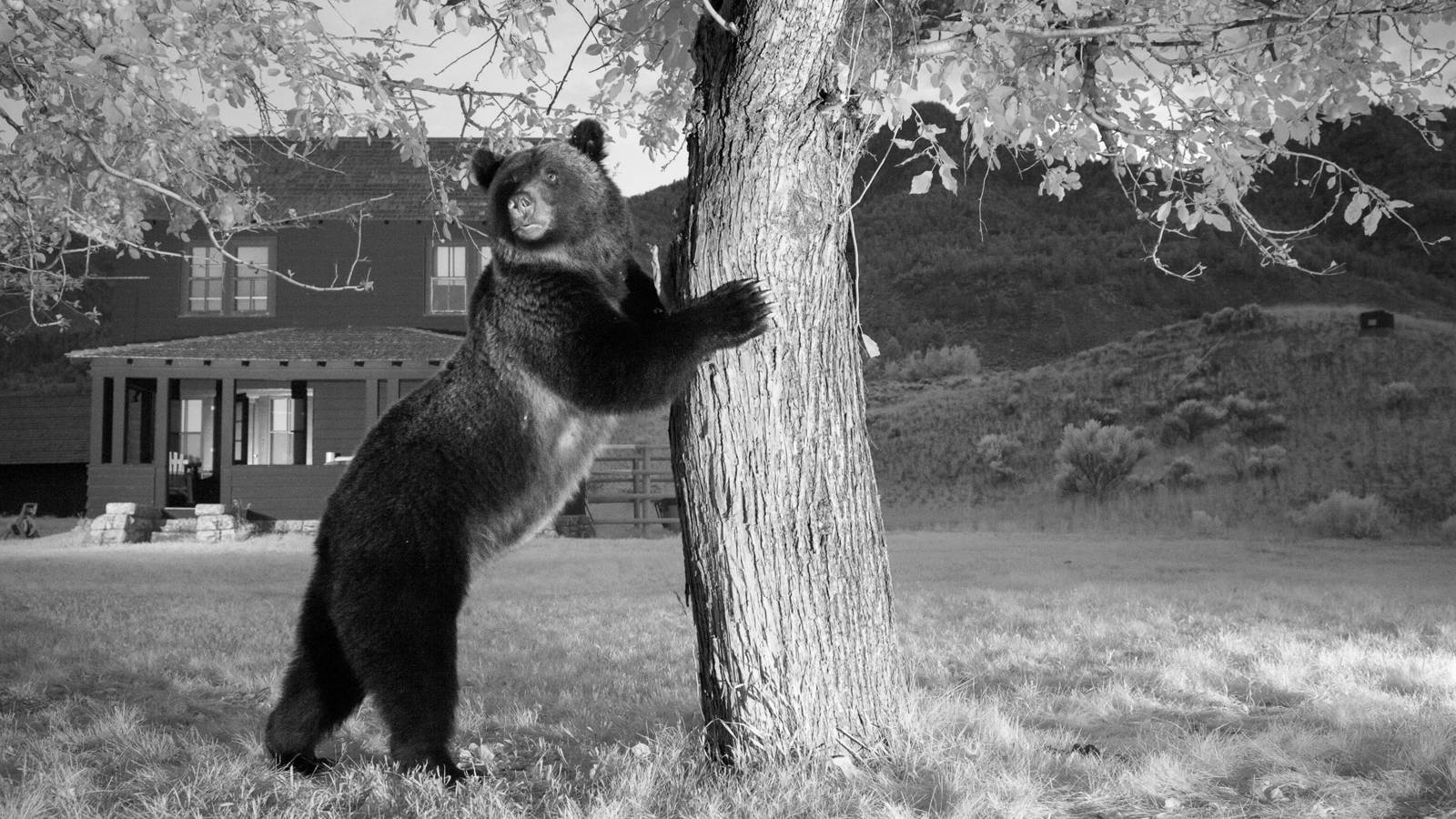 bear at tree
