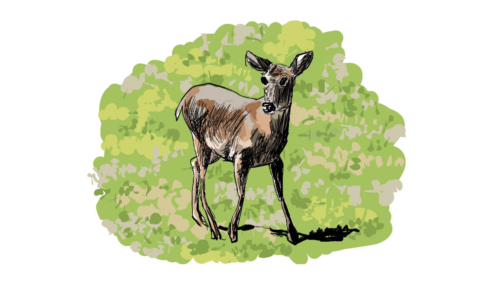 <p>The park's broad valleys are home to a variety of wildlife, such as the deer pictured here. Big lesson: Elk are considerably larger than deer. Lesson #2: It's hard to run fast carrying a sketchbook.</p>
