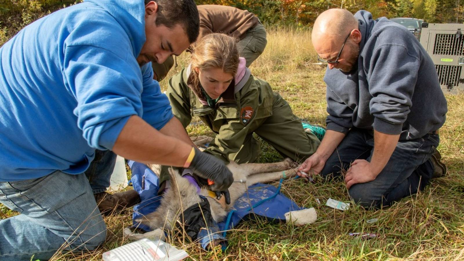<p>Roger (Poe) Deschampe Jr. and Seth Moore of Grand Portage work with NPS Wildlife Vet Michelle Verant to collar a wolf that they released shortly after near Grand Portage.</p>