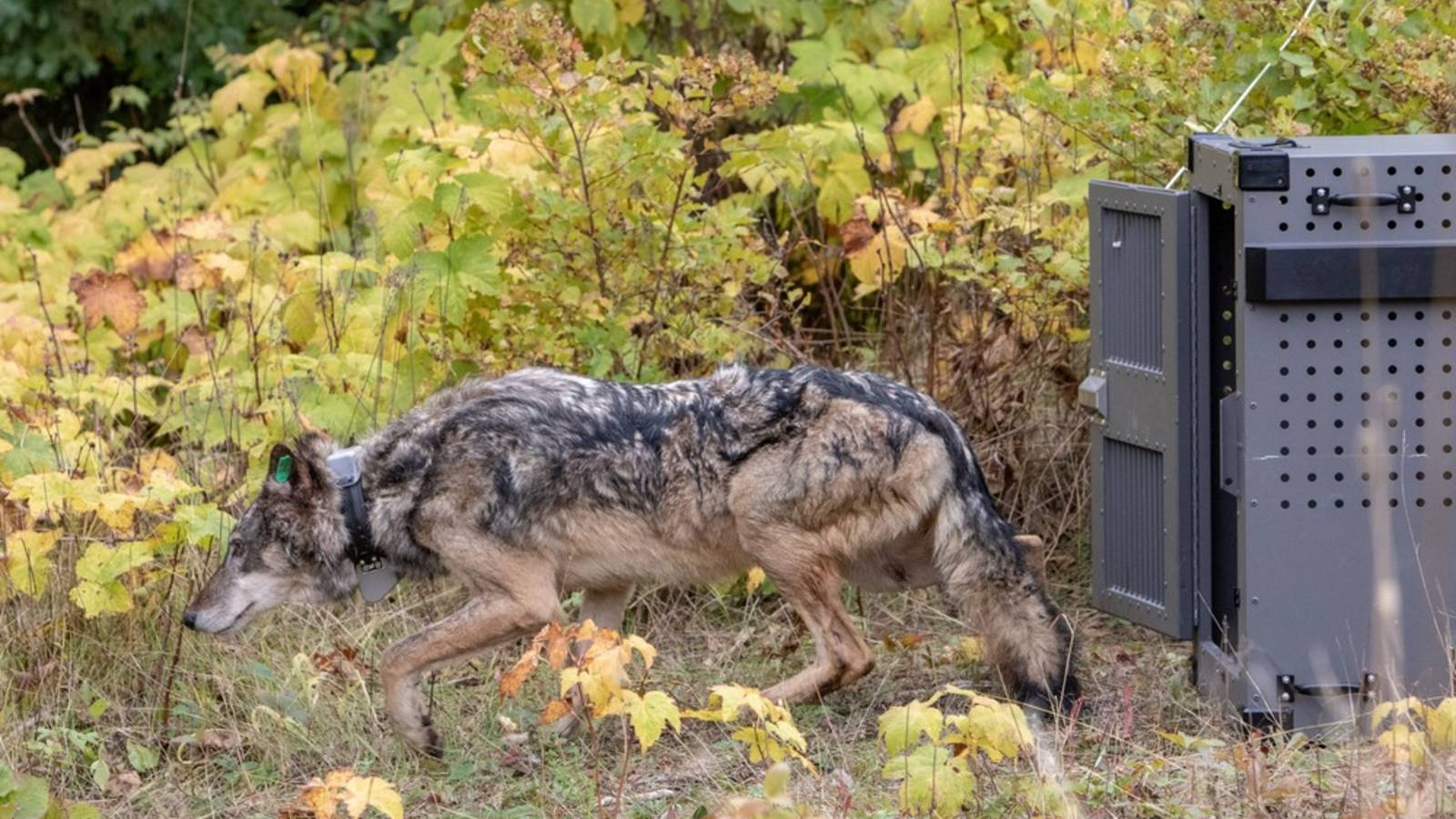 <p>The last glimpse of the third wolf relocated to Isle Royale.</p>