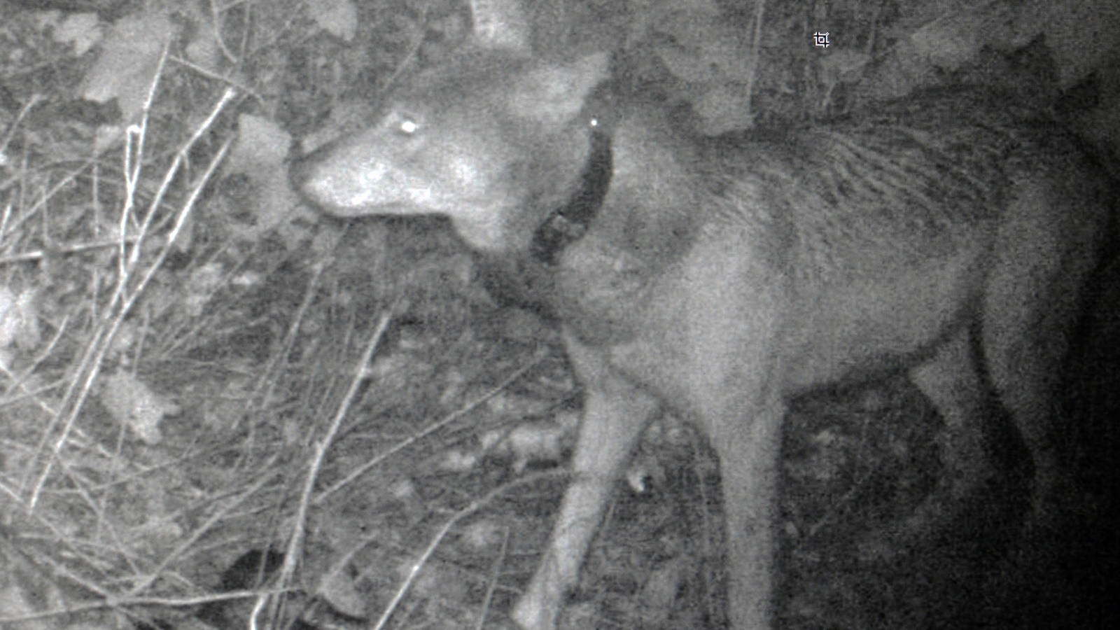 <p>Trail camera photo of the first female wolf released on the island. Captured 9-27-18.</p>