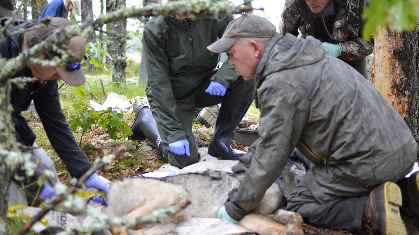 <p>Michigan Department of Natural Resources wildlife technician Brad Johnson, right, and Nick Fowler, graduate research assistant with the State University of New York's College of Environmental Science and Forestry take measurements of a gray wolf captured Sept. 6, 2019 in Michigan's Upper Peninsula. Looking on are National Park Service veterinarian Michelle Verant and Michigan DNR veterinary specialist Dan O'Brien.</p>