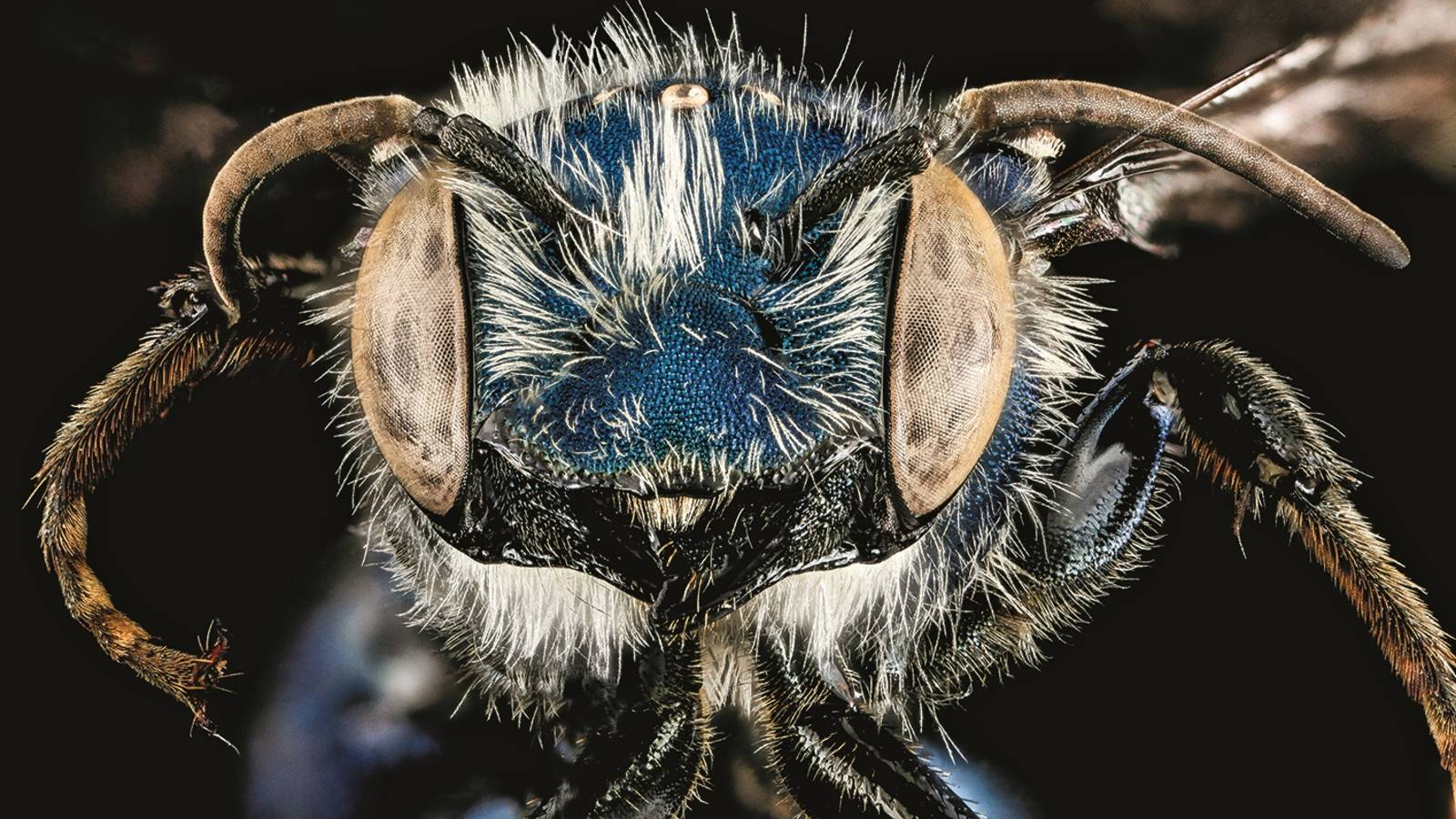 """<h3 style=""""text-align: center; padding: 50px;""""><span class=""""text-Intro-style""""><em>Osmia chalybea</em> (bee), Cumberland Island National Seashore, Georgia. © SAM DROEGE/USGS BEE INVENTORY AND MONITORING LAB</span></h3>"""