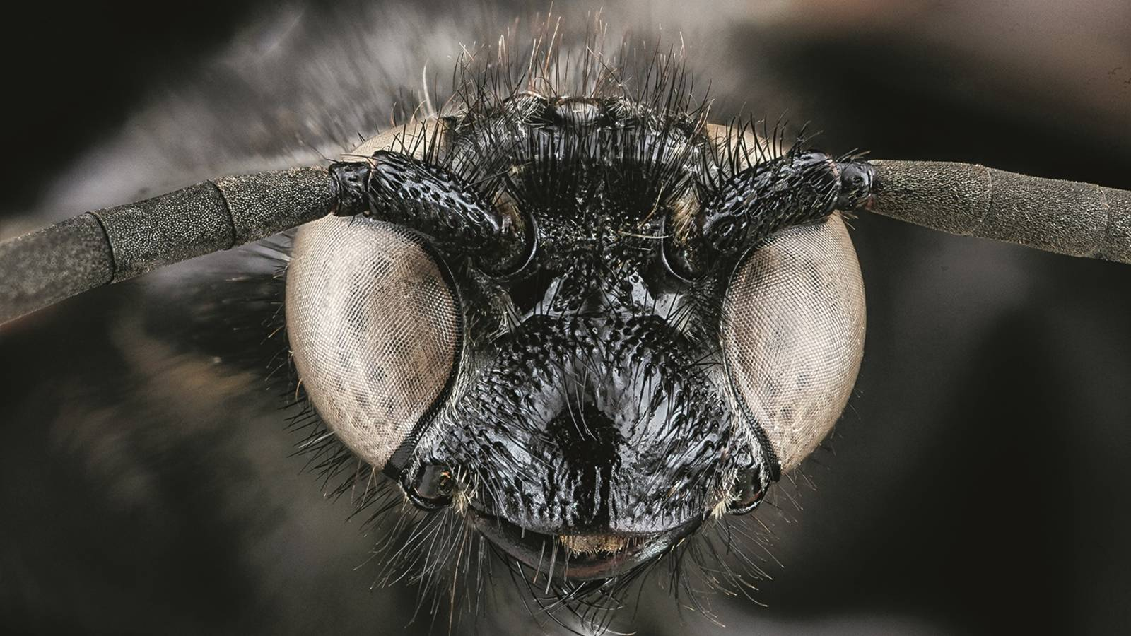 """<h3 style=""""text-align: center; padding: 50px;""""><span class=""""text-Intro-style""""><em>Scolia bicincta</em> (wasp), Cape Cod National Seashore, Massachusetts. © SAM DROEGE/USGS BEE INVENTORY AND MONITORING LAB</span></h3>"""