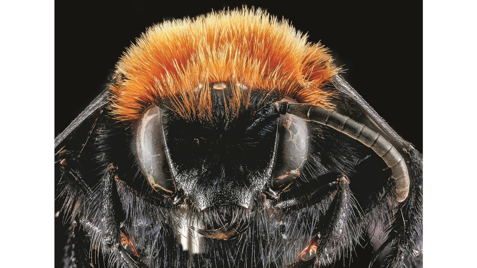 """<h3 style=""""text-align: center; padding: 50px;""""><span class=""""text-Intro-style"""">Melecta bee (species unknown, although Sam Droege jokingly labeled it """"Billy Idol Melecta"""" after the 1980s rock star), Fossil Butte National Monument, Wyoming. © SAM DROEGE/USGS BEE INVENTORY AND MONITORING LAB</span></h3>"""