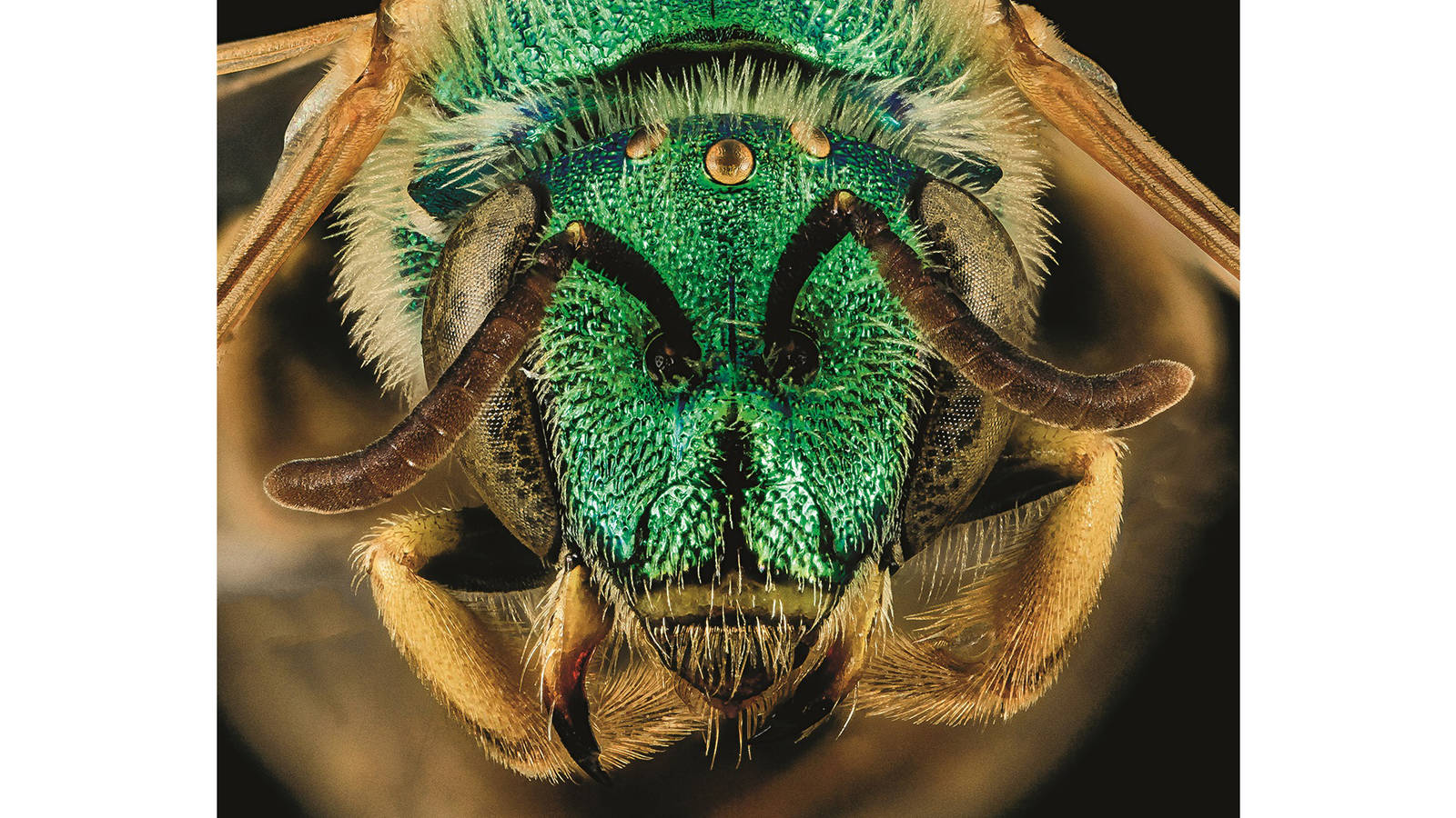 """<h3 style=""""text-align: center; padding: 50px;""""><span class=""""text-Intro-style""""><em>Agapostemon melliventris</em> (bee), Badlands National Park, South Dakota. © SAM DROEGE/USGS BEE INVENTORY AND MONITORING LAB</span></h3>"""