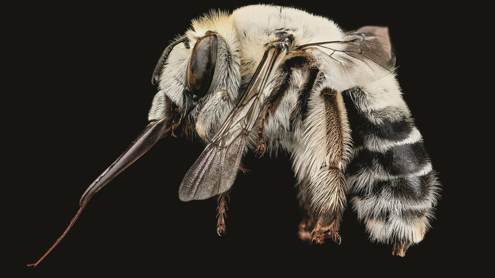 """<h3 style=""""text-align: center; padding: 50px;""""><span class=""""text-Intro-style""""><em>Anthophora affabilis</em> (bee), Badlands National Park, South Dakota. © SAM DROEGE/USGS BEE INVENTORY AND MONITORING LAB</span></h3>"""