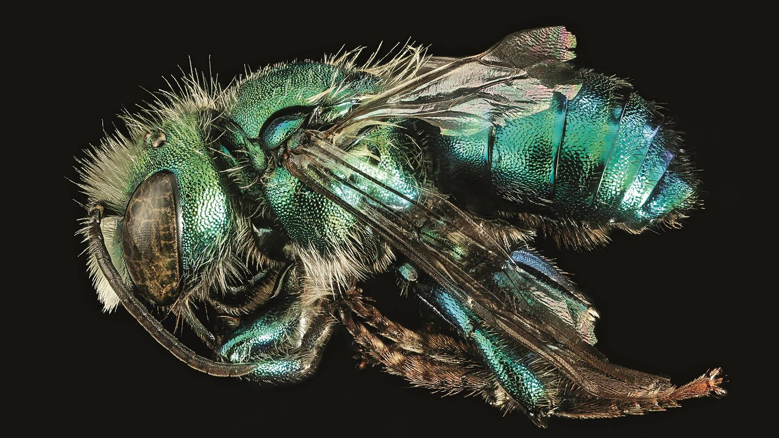 """<h3 style=""""text-align: center; padding: 50px;""""><span class=""""text-Intro-style""""><em>Osmia bruneri</em> (bee), Yellowstone National Park, Wyoming. © ELIZABETH GARCIA AND WAYNE BOO/USGS BEE INVENTORY AND MONITORING LAB</span></h3>"""
