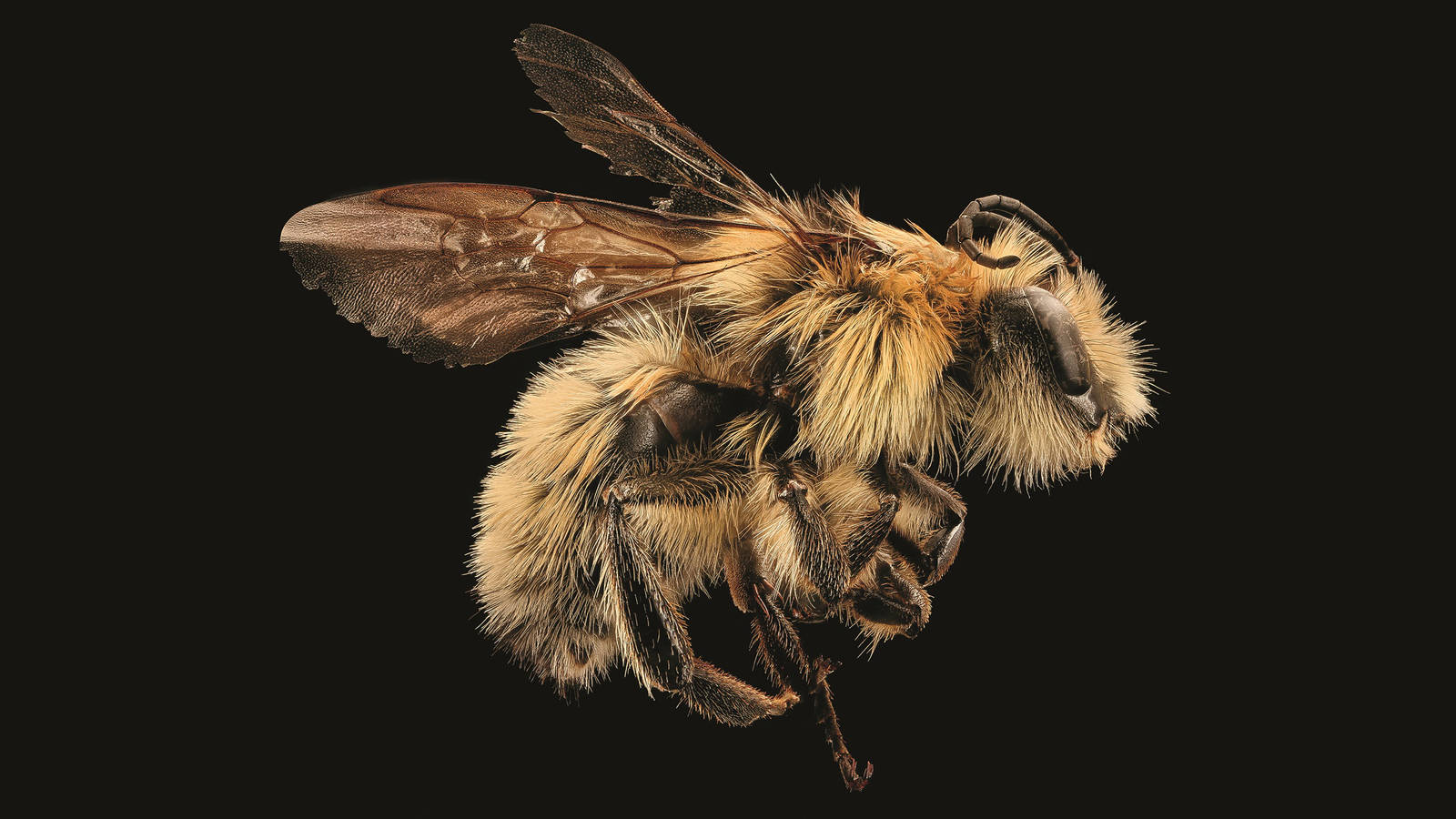 """<h3 style=""""text-align: center; padding: 50px;""""><span class=""""text-Intro-style""""><em>Bombus vandykei</em> (bumblebee), Yosemite National Park, California. © SAM DROEGE/USGS BEE INVENTORY AND MONITORING LAB</span></h3>"""