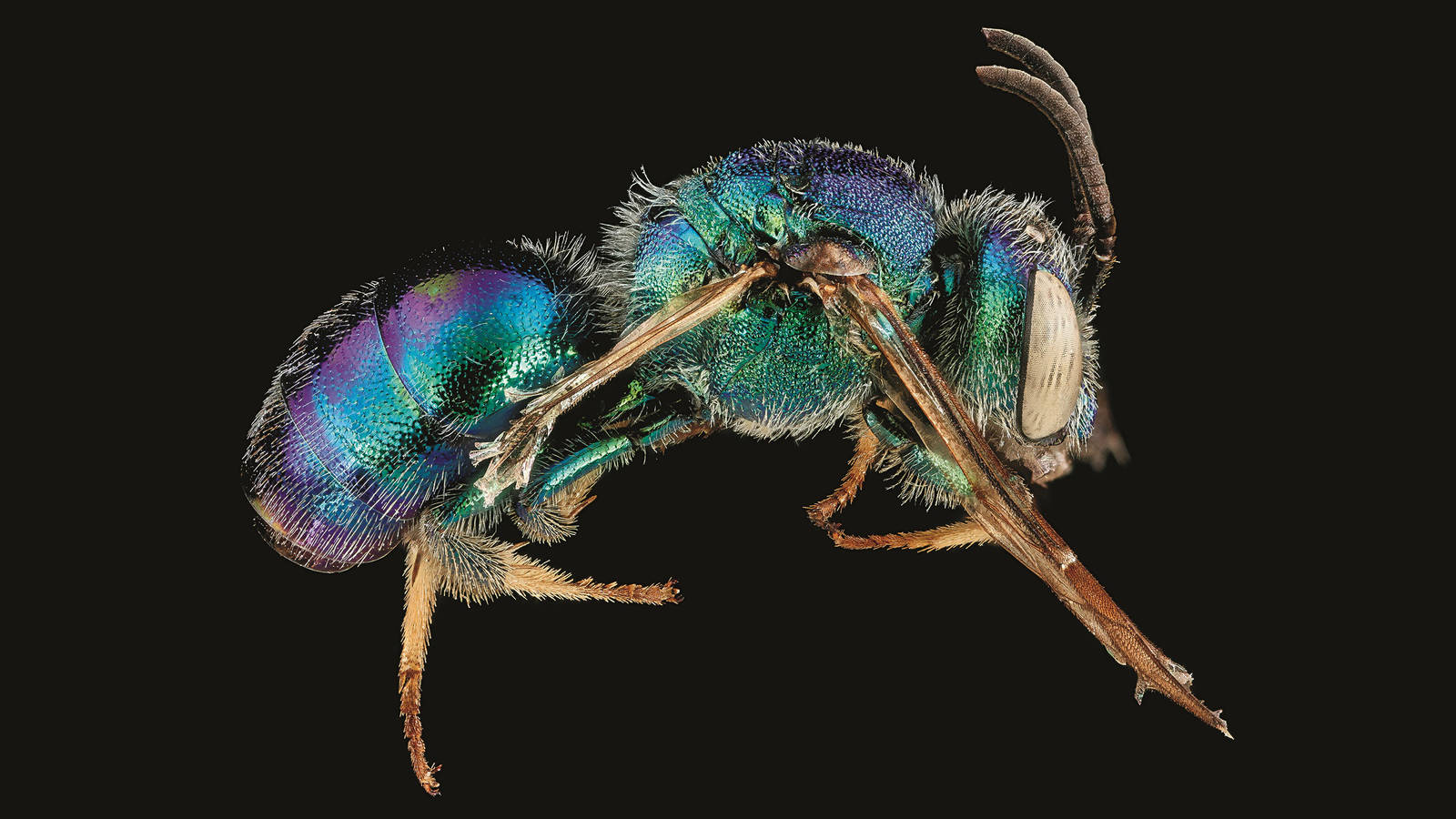 """<h3 style=""""text-align: center; padding: 50px;""""><span class=""""text-Intro-style""""><em>Augochloropsis anonyma</em> (bee), Biscayne National Park, Florida. © SAM DROEGE/USGS BEE INVENTORY AND MONITORING LAB</span></h3>"""