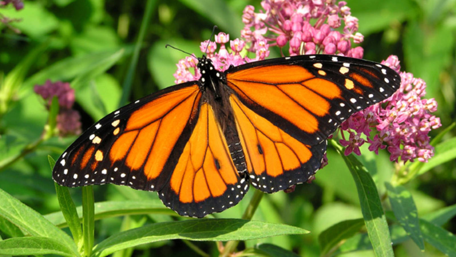 Got Milkweed? Crowdfunding Creates a Butterfly Effect for National Parks