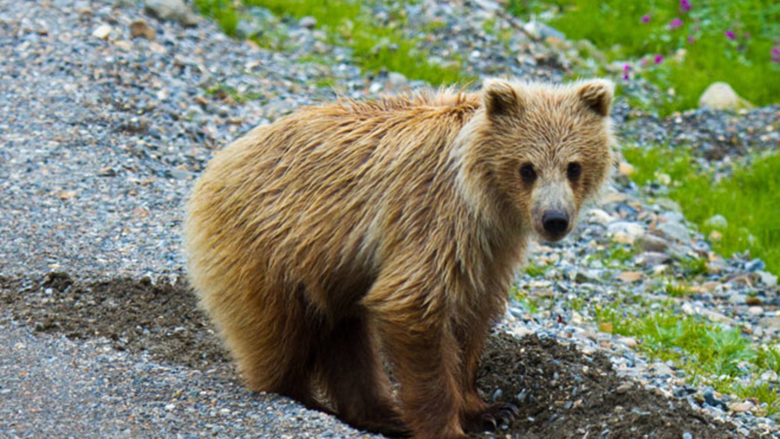 Congress Fails Wildlife, OK's Killing Mother Bears with Cubs and Wolves on Public Lands in Alaska