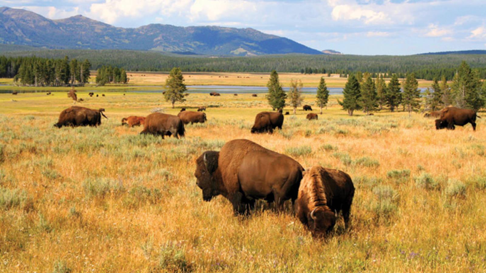 Resultado de imagem para yellowstone bison