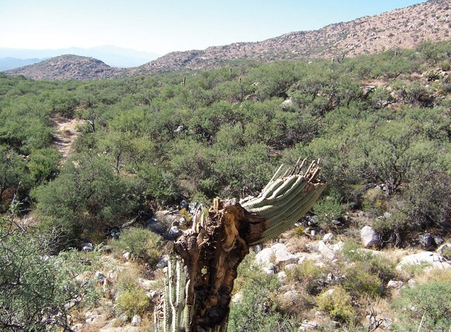 A saguaro along the trail to base camp that has been damaged by freezing temperatures.