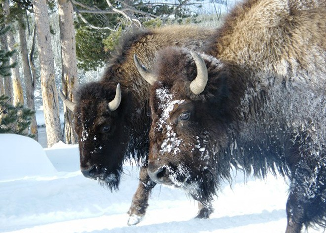 Bison in winter at Yellowstone National Park
