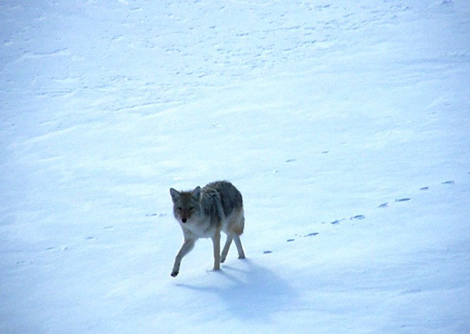 A coyote in winter at Yellowstone National Park