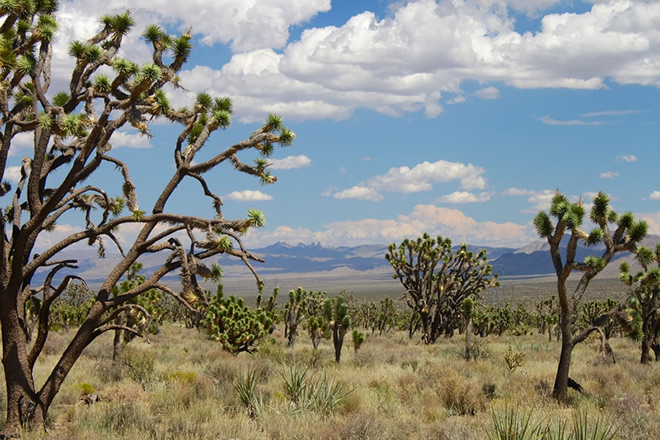Joshua trees at Mojave National Preserve. Photo © Jason P. Ross/Dreamstime.