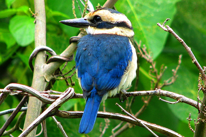 A collared kingfisher at the National Park of American Samoa.