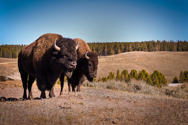 Bison in one of the last free-roaming, genetically pure herds at Wind Cave National Park.