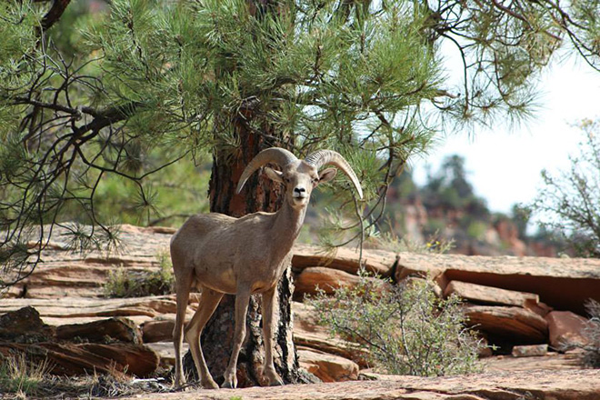 A bighorn sheep at Zion National Park.