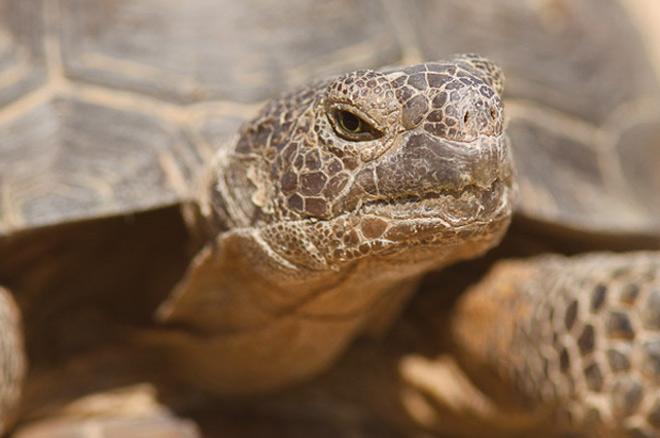 The endangered desert tortoise at Mojave National Park. Photo © David Lamfrom.
