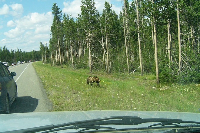 "Drivers pull over, creating a ""bear jam"" around this young grizzly at Grand Teton National Park."